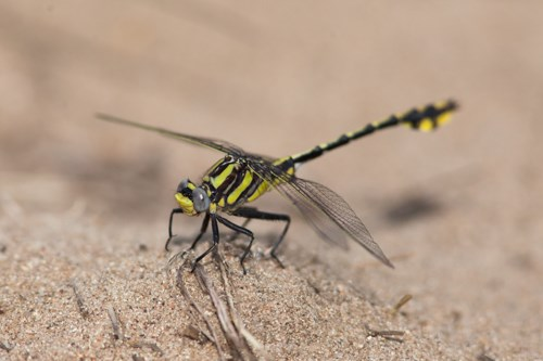 A large, yellow and black insect sits perched on the sandy ground.