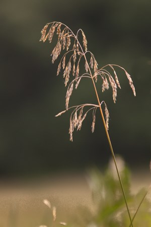 A large brown seed head on a stem of grass.