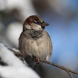 A small brownish bird with gray/brown breast, rusty cap and black facemask sits on a snow-covered tree.