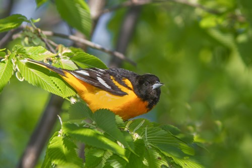 A small black and orange bird perched among the leaves.