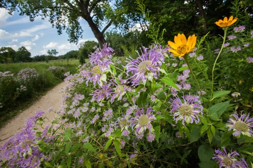 Plants of the tallgrass prairie and oak savanna mississippi lavender and yellow flowers border a trail that skirts the forest mightylinksfo
