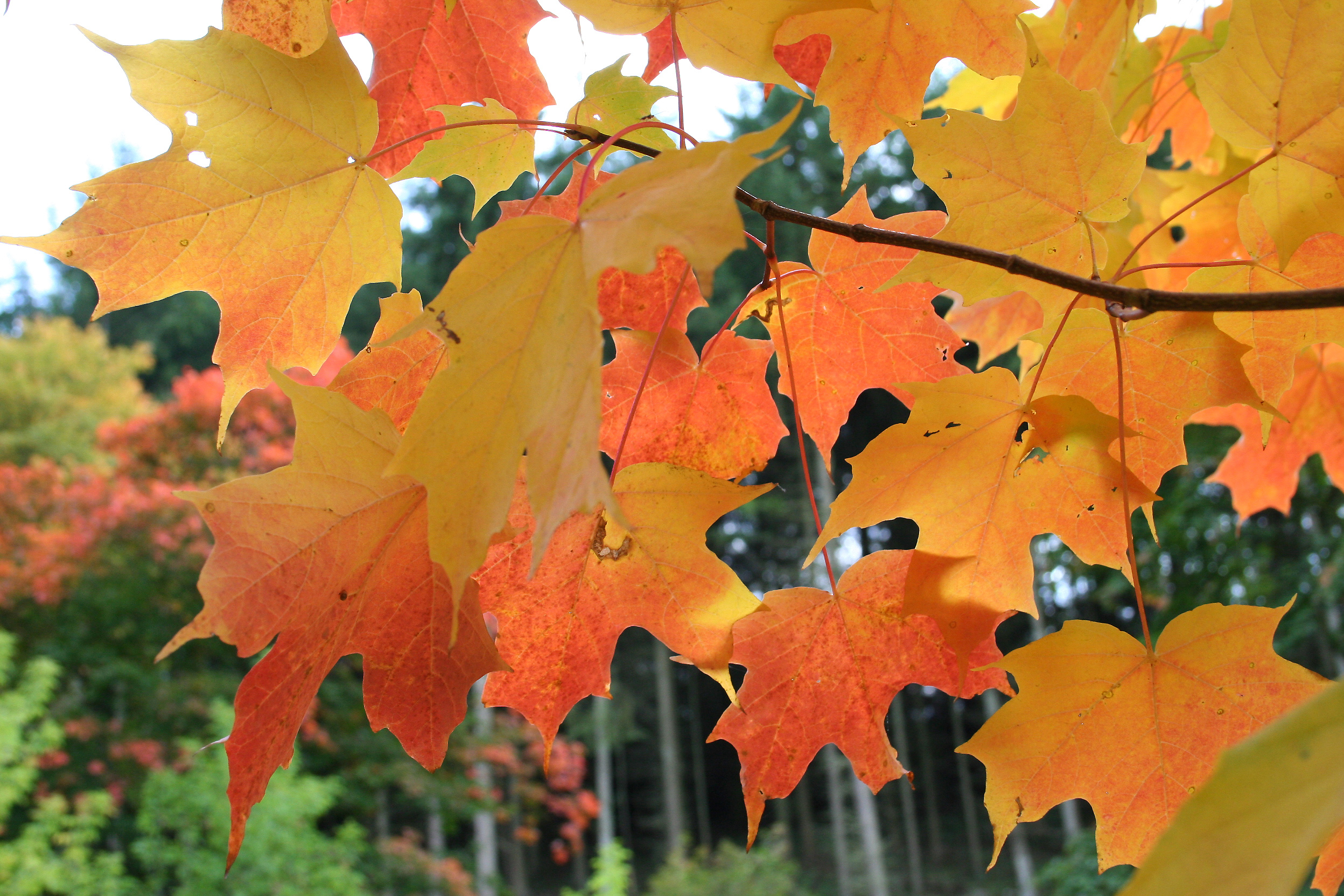 Sugar Maple Mississippi National River And Recreation Area U S