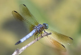 A dragonfly sits on a twig.