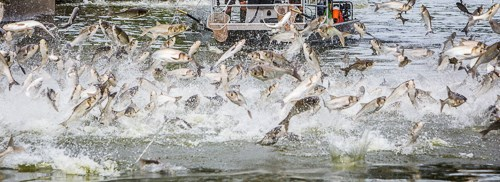 A large school of fish all jumping out of the water at one time.