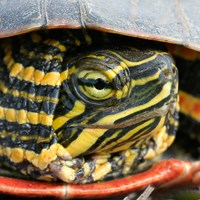 The yellow and black face of a painted turtle.