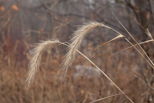 Two tan-colored, drooping grass seed heads.