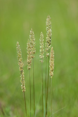 Several stems of green grass with large green seed heads.