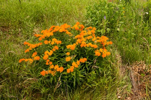 Orange flowers atop of a low, bushy green plant.