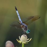 A blue dragonfly sits on a flower.