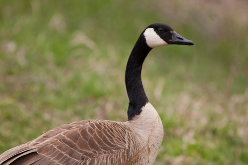 canada goose branta canadensis mississippi national river and