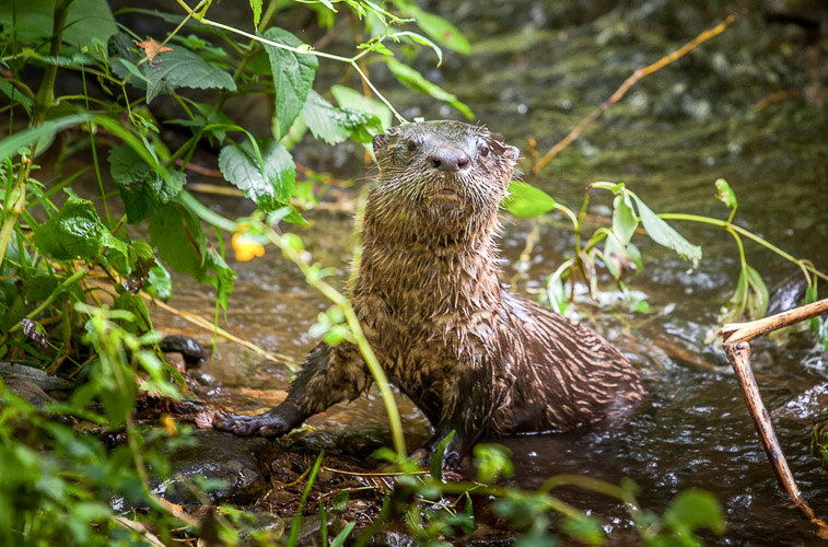 A small brown animal, known as the North American river otter, rests partially submerged in a creek.