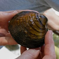 A large brown clam-like mussel shell held by a researcher.