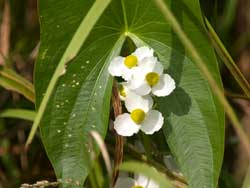The white flowers and arrowhead-shaped leaf makes arrrowhead plants easy to identify.