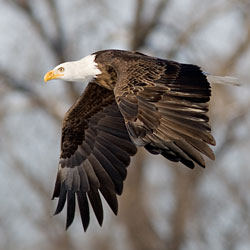 A dark brown eagle with white head and tail flies in front of trees.