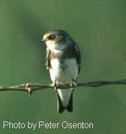 A small brown and white bird perched on a strand of barbed wire.