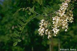 A black locust leaf and flowers.