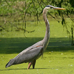 A large, long-legged, long-necked bird wades in a marsh.