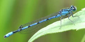A small blue and black damselfly perched on a green leaf.