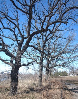 A bur oak tree shows off its gnarled and many branches.