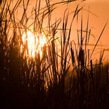 Cattail silhouettes against a golden red sunset.
