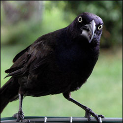 A black bird with yellow eyes sitting on a railing.