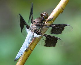 A dragonfly sits on a dried grass stem.