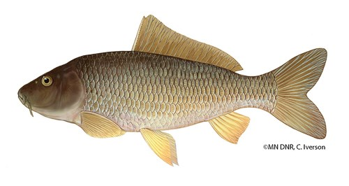 A large brownish gold fish.