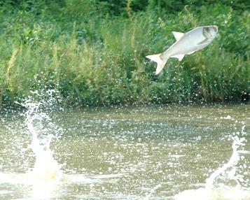 asian carp jump into boat louisiana