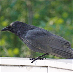 A large black bird with heavy black bill sits on a railing.