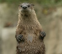A river otter stands upright looking at the photographer.