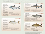 Fish Guide Asian Carp