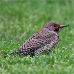 A bird with heavily barred back, red patch on the back of the head and a black moustache rests on a lawn.
