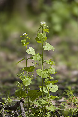 Garlic mustard on the floor of a broadleaf forest near the Mississippi River.