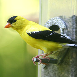 A gold-colored bird with black wings and cap sits on a birdfeeder peg.