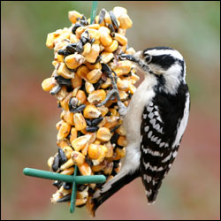 A medium-sized black and white bird perches on the side of a feeder.