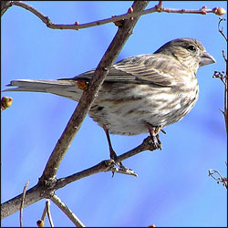 A house finch perches on a branch beneath a bright blue sky.