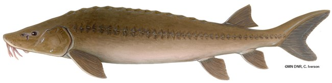 A large brown fish.