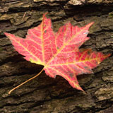 A red maple leaf laying on the bark of a maple log.