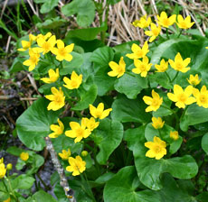 Bright yellow marsh marigolds growing in a forested wetland.