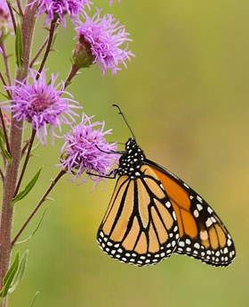 An orange and black monarch butterfly necters on a lavender blazingstar flower.