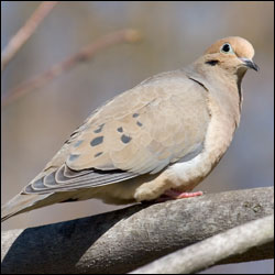A mourning dove sits on a branch.