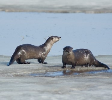 Two otters on river ice