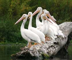 American white pelicans rest on a log partially sunken in the Mississippi River