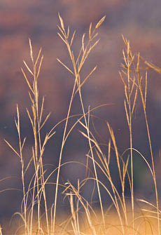 Praire cordgrass turns gold in autumn.