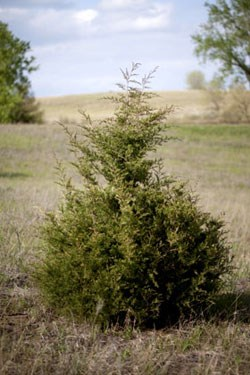 a cedar tree grows in the middle of prairie