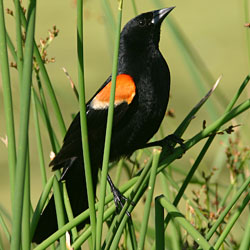 A red-winged blackbird perched on reeds.