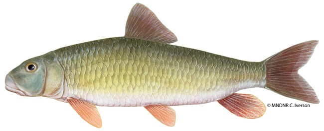 A long, slender fish that is mostly gold or silver with bright red fins.