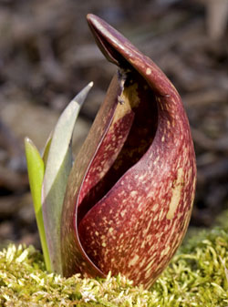 skunk cabbage   mississippi national river and recreation