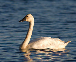 A large white bird with a black bill floats on blue water.