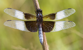 A large dragonfly with a blue tail and white and black spotted wings rests on a twig.
